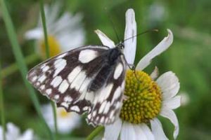 © David Beeson: Marbled White in Summer Meadow.