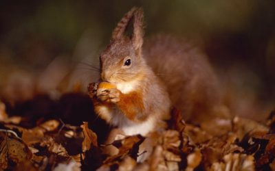 Photographing Red Squirrels