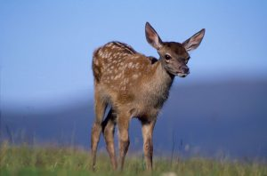 © Laurie Campbell: Young red deer with dappled coat.