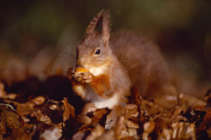 Laurie Campbell: Our iconic yet declining and increasingly isolated Red Squirrel.