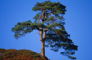 © Laurie Campbell: Scots Pine.