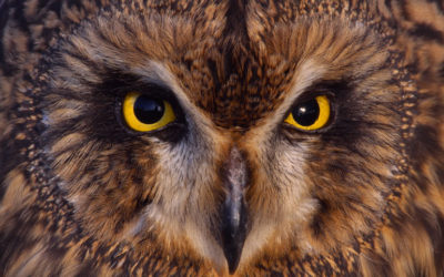 Wildlife to see in July – Owls