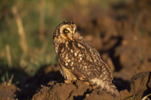 Short Eared Owl. Image by Laurie Campbell.