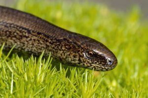 © Laurie Campbell: Slow Worm