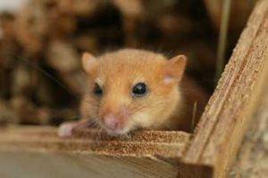 © Thames Water: Dormouse in nesting box