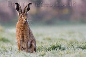 © Damian Waters: Brown Hare.