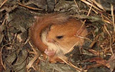 Help Save Endangered Dormice