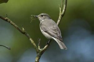 Andrew Crystal : Spotted Fly Catcher