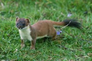 © Laurie Campbell: Stoat.