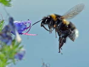 A Garden Bumblebee visits Viper's Bugloss – but notice how she's smelling the flower with her antennae before landing on it. Bumblebees have smelly feet, and leave a mark on every flower that they've visited. Foragers learn to avoid cheesy flowers, which are likely to offer little reward. (photo Ben Darvill).