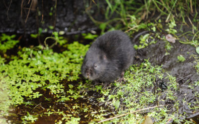 Wildlife to see in August – Water Voles