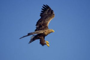 © Laurie Campbell: White Tailed Sea Eagle