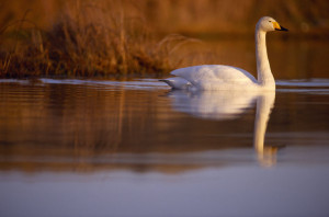 Whooper Swan. Image by Laurie Campbell.