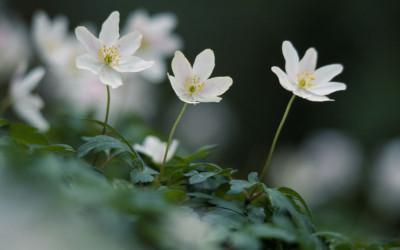 Nature to see in March – Wood Anemones