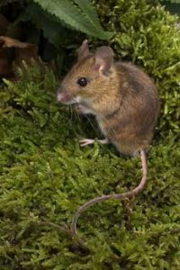 © Laurie Campbell: Woodmouse