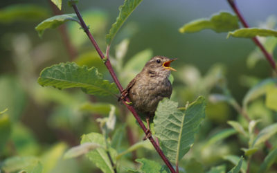 Wildlife to see in July – Wrens