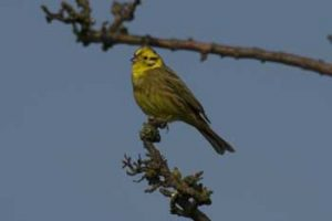 Yellowhammer - nice shot, in focus, pity about the background! Andrew Crystal