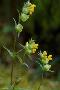 © Laurie Campbell: Yellow Rattle